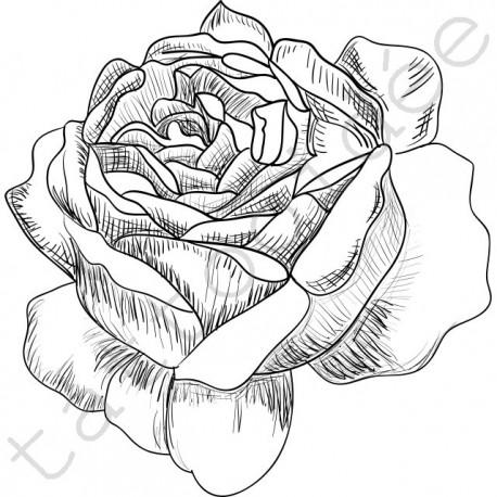 Róża Szkic